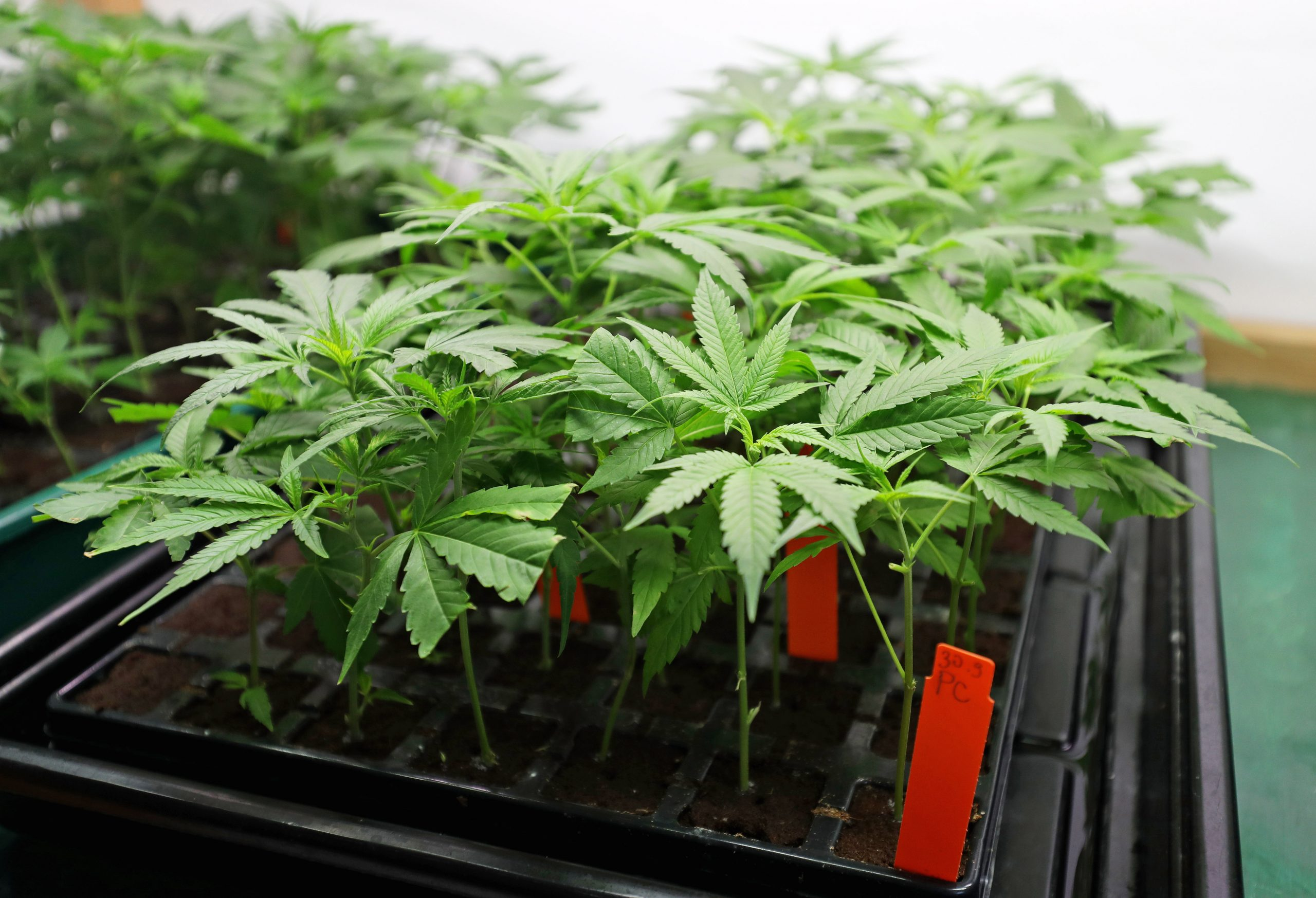 Cannabis plants being grown in small amounts potentially in a home grow op